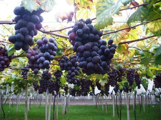 一日新社葡萄採果趣